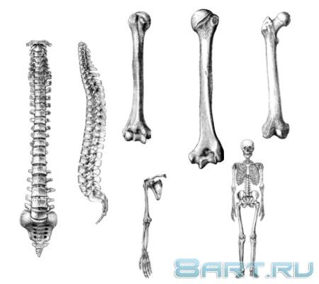 картинки кости: