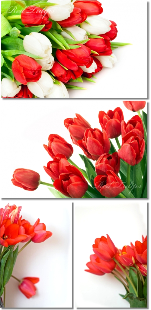 Red Tulips Backgrounds - Тюльпаны, фон